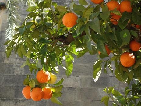 orange tree Keep the oranges
