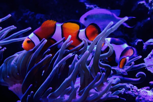 Clowns/anemone