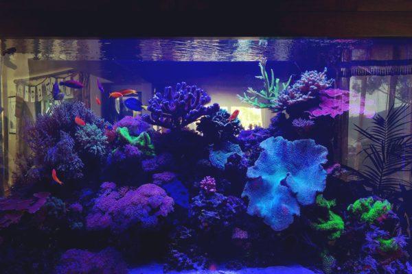 550 gallon Living Reef aquarium