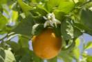 Infusión de naranjo amargo