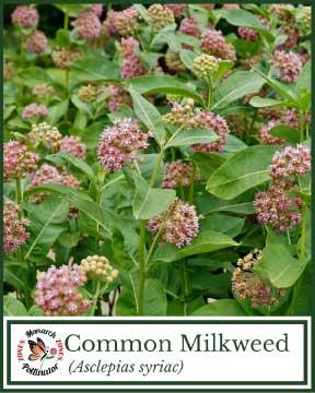 Common Milkweed - Pollinator Zone Seed Mix
