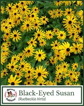 Black-Eyed Susan - Pollinator Zone Seed Mix