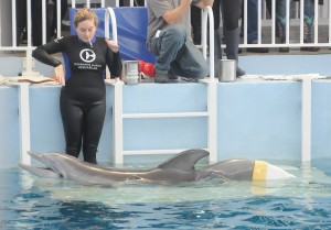 """Winter, the plucky dolphin and star of """"Dolphin Tale"""" with her prosthetic tail at the Clearwater Marine Aquarium, one of the major attractions near the Don Cesar © 2016 Karen Rubin/news-photos-features.com"""
