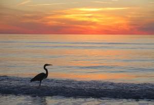 A Great Blue Heron appreciating the sunset on Don Cesar's beach © 2016 Karen Rubin/news-photos-features.com