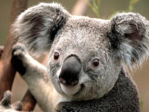 Picture of koala. Filler image.