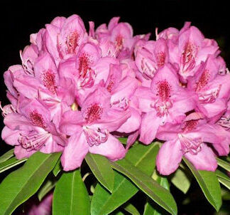 Sun and Heat Tolerant Rhododendrons