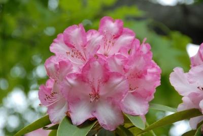 Pink Wallaper Bloom