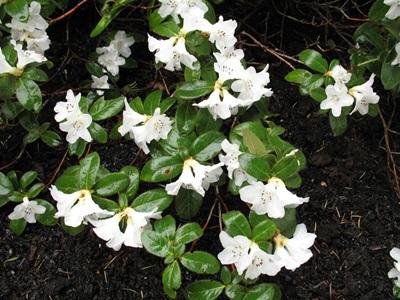 Snow Lady Plant