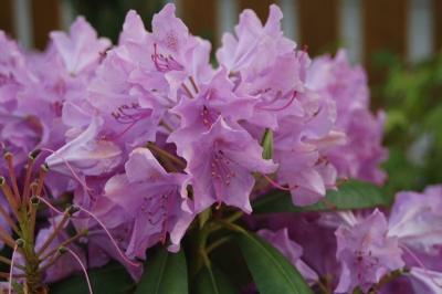 English Roseum Bloom