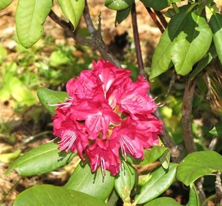 Sun Tolerant Rhododendrons