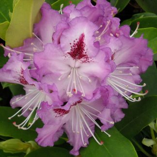 Heat Tolerant Rhododendrons