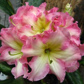 Fragrant Rhododendrons