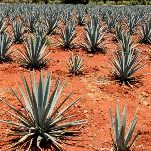 "Fuenteseca Cosecha Blanco: ""The First Grand Cru Tequila"""