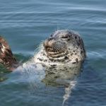 seal in casco bay