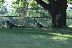 geese_yard