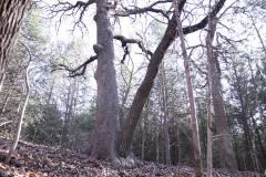 yin-yang_tree