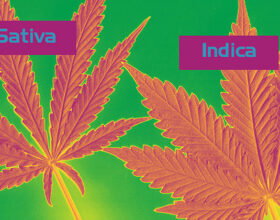 Indica vs. Sativa: Understanding The Differences