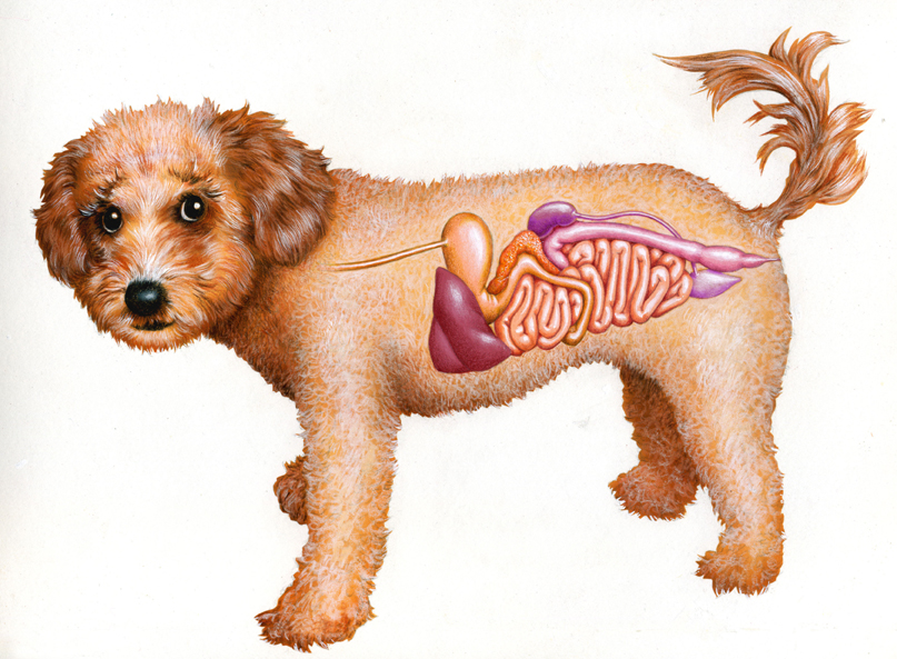 Illustration by John Fraser of See through canine digestive system for article in Dogs in Canada Magazine, canine anatomy, digestive system, medical illustration,
