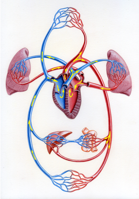 Illustration by John Fraser of blood circulation system, medical illustration, heart, lungs, kidneys, blood vessels, heart valves, heart chambers