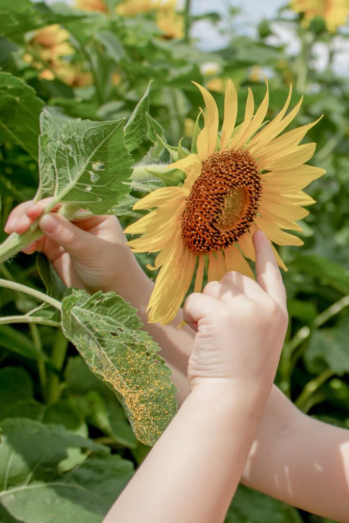 Sunflower Fields 7
