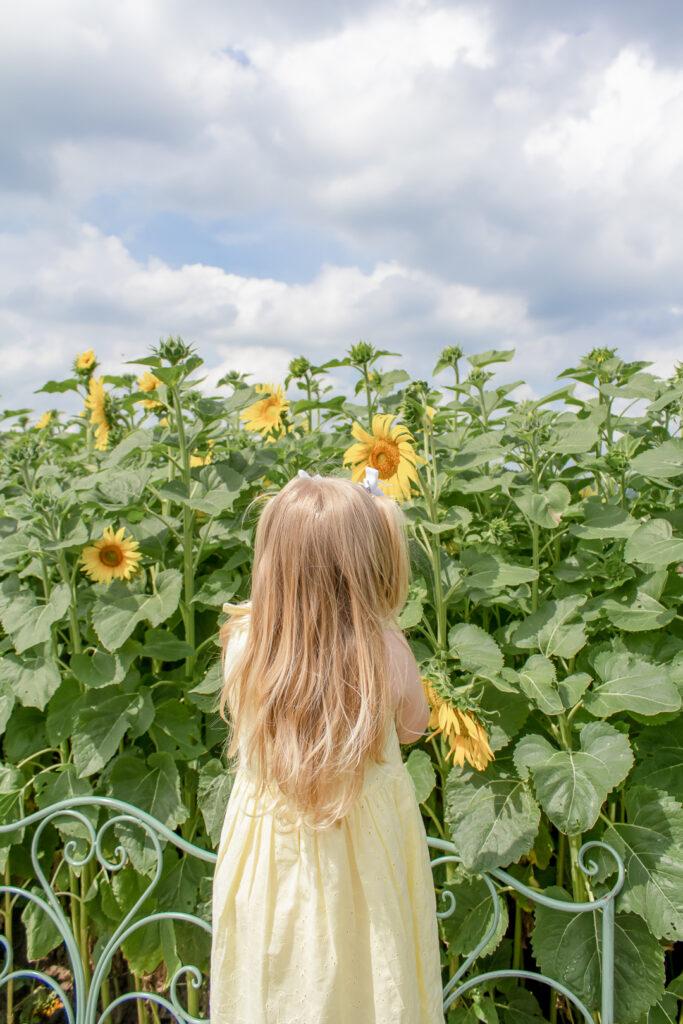 Sunflower Fields 1