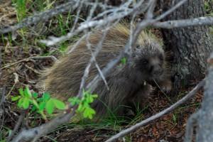 Visiting porcupine