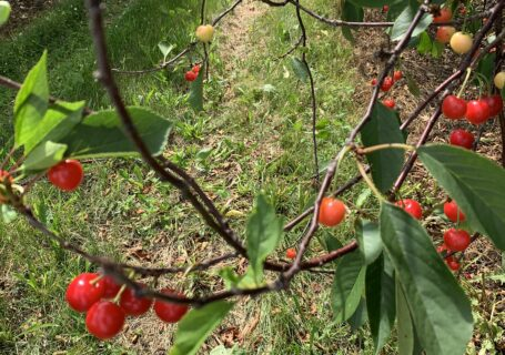 picture of cherries growing on tree