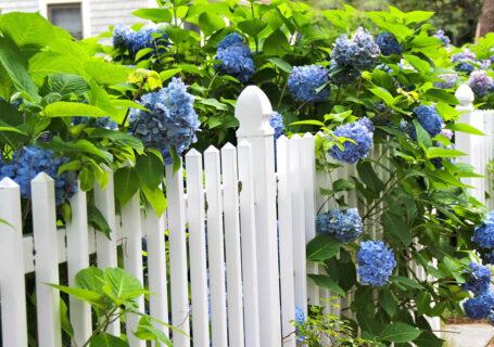 blue hydrangea white picket fence