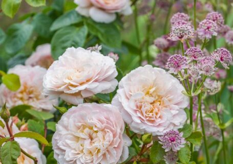 picture of pale pink rose
