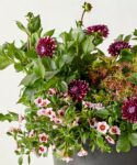 picture of pot_purple-and-white-dahlia-pink-calibrachoa-coleus