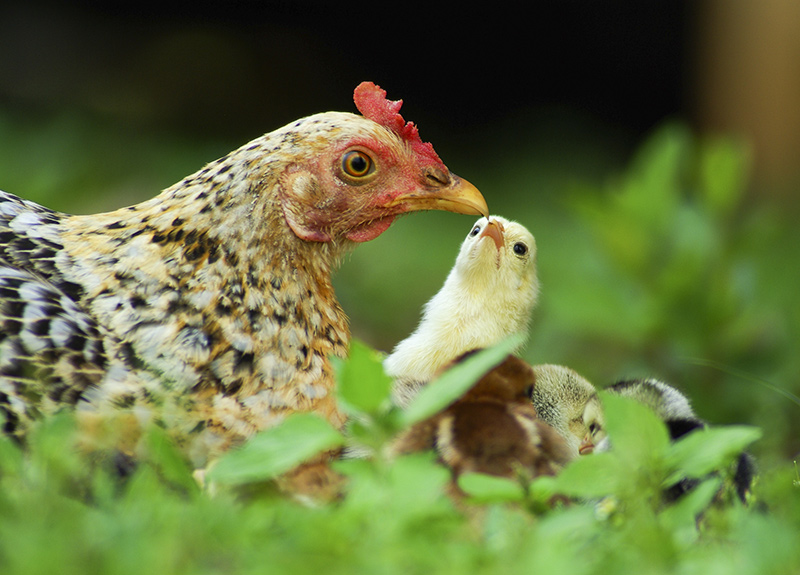 Healthy chickens needed for orphans.