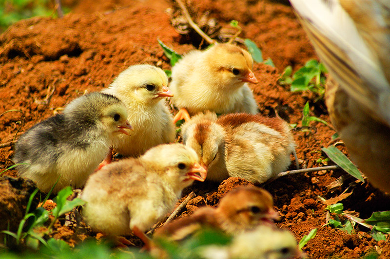We Need 1,000 Chickens, Again