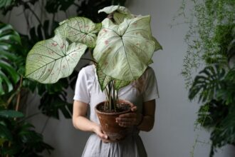 eco people bicolor botany caladium caladium bicolor candidum decoration elephant ear elephant ear t20 zWGB3G