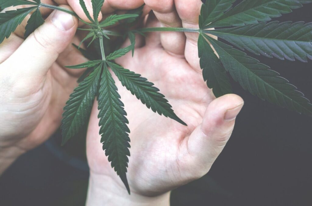 hands holding cannabis plant leafs hemp growing narcotic nobody young crop day cannabis nature t20 yXbZK2