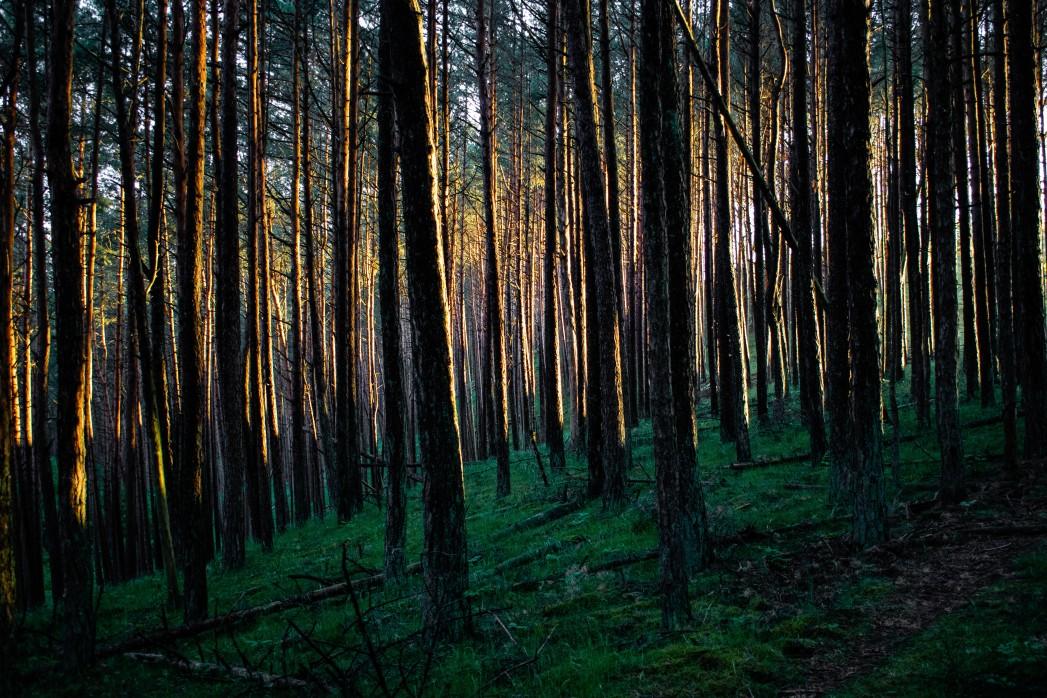 trunks during sunset near nida lithuania t20 nRXRlK 1