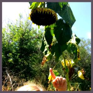 sunflower steam