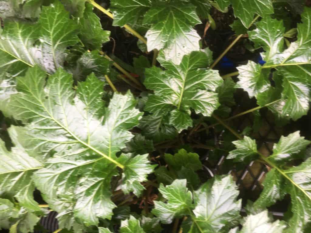 Acanthus mollis- Oyster plant
