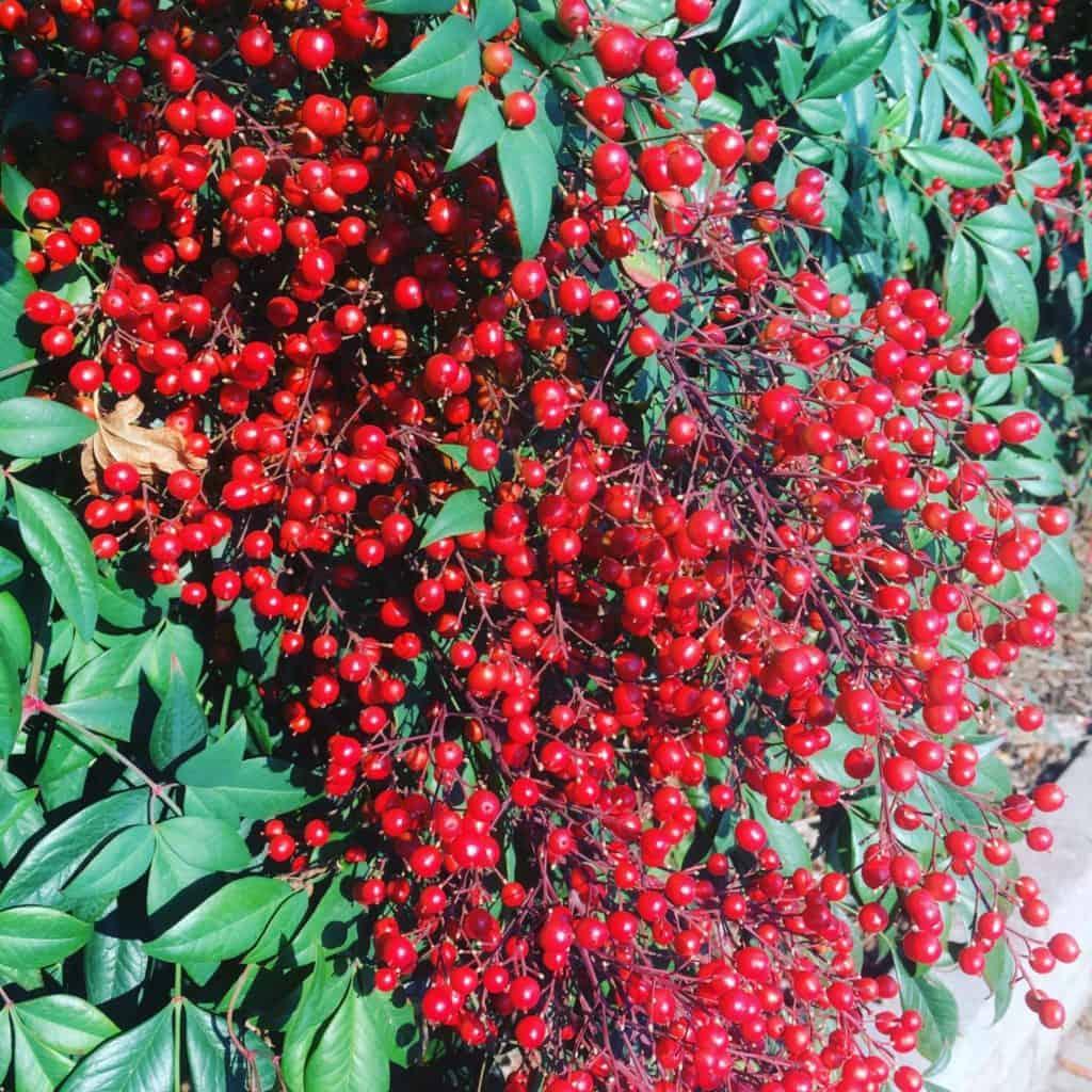 Nandina domestica berries