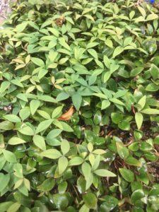 Nandina Domestica Seedlings