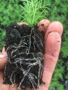 brachyscome-multifida-ready-for-garden-everydaywits-propagation