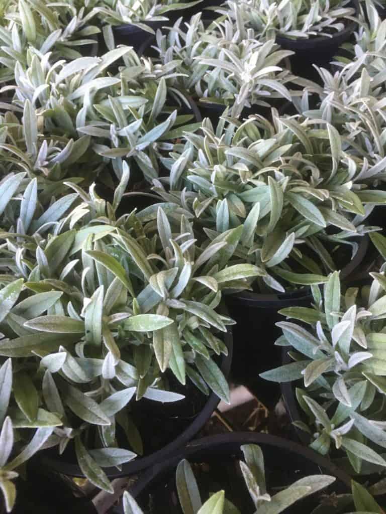 Cerastium tomentosum-snow in summer