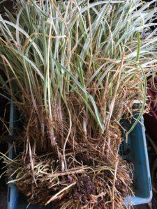 Tulbaghia-violacea-'variegata'-Variegated-society-garlic-clump-propagation-everydaywits