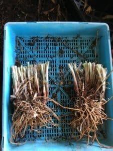 Tulbaghia-violacea-'variegata'-Variegated-society-garlic-clump-divided-propagating-everydaywits
