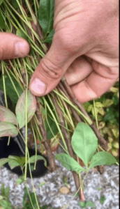 Nandina nana stems
