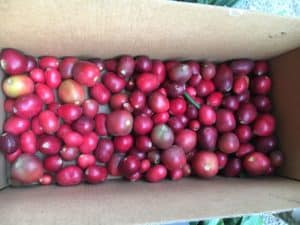 Harvested clivia berries