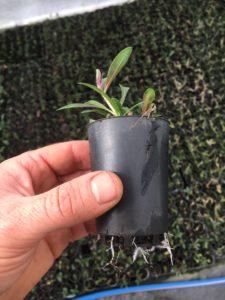 Gaura plant ready for the garden