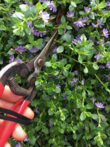 Harvesting scaevola (fan flower) cuttings