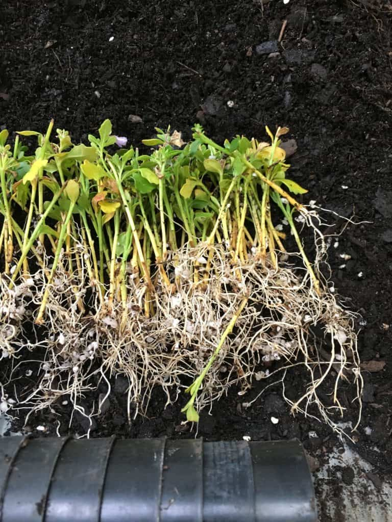Scaevola cuttings with roots