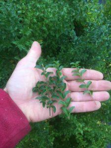 Ligustrum undulatum- box leaf privet stems