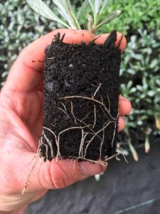 Root system on silver bush
